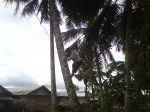 Memanjat kelapa